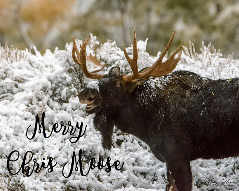 merry chris moose