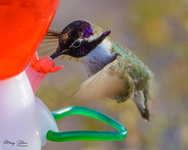 From clicking to creating. Costa's hummingbird