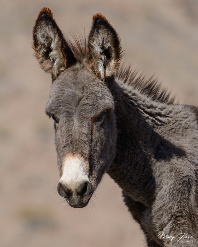 young wild burro