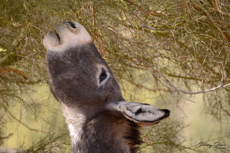 wild burro eating palo verde tree
