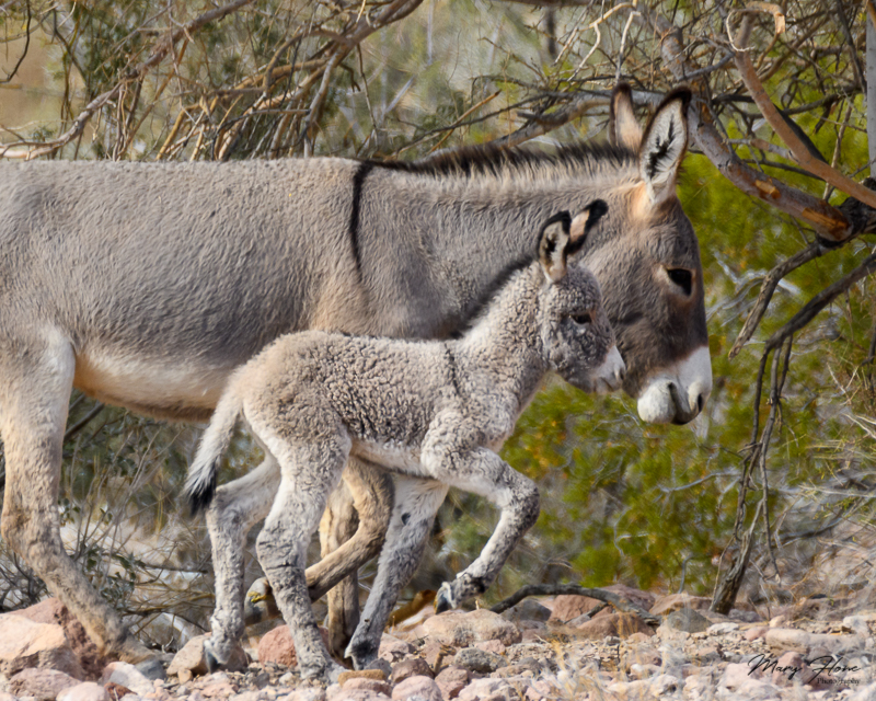 Adorable Wild Baby Burro