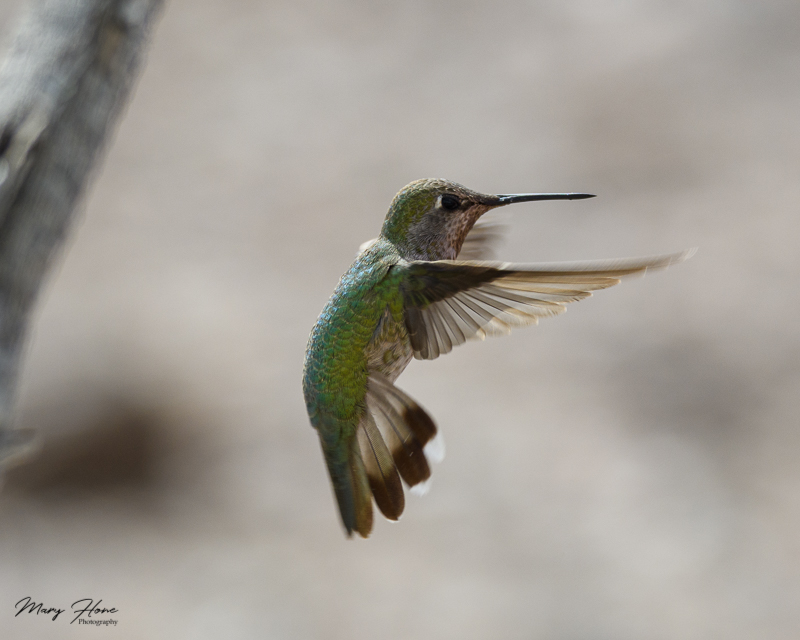 costas hummingbird female