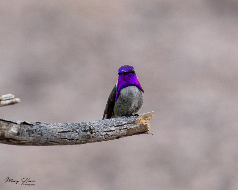costas hummingbird male