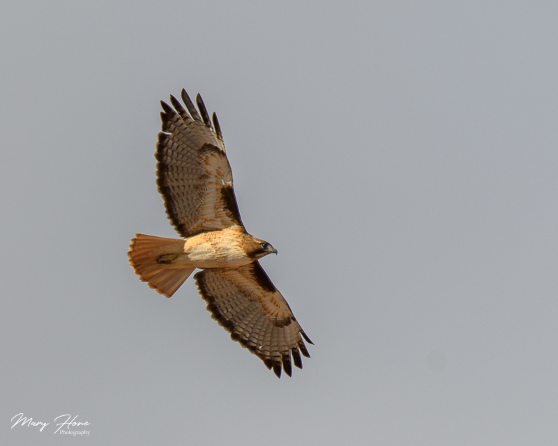 redtail hawk flying