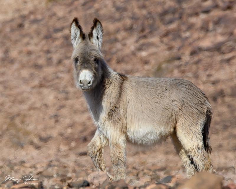 fuzzy young burro