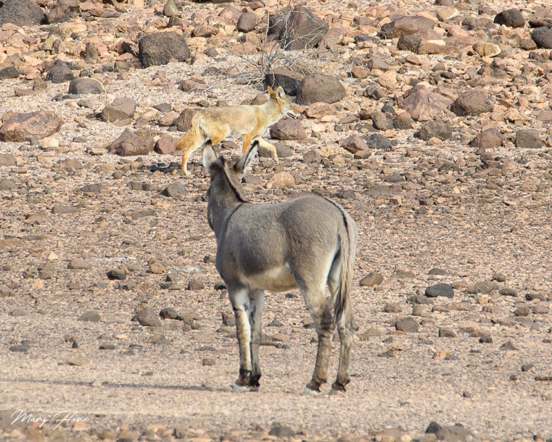 coyote and wild burros