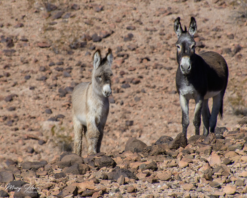 2 burros in the desert