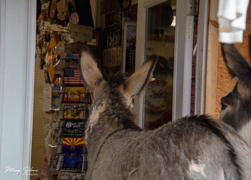 oatman burro