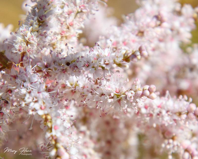 Tamarisk flower