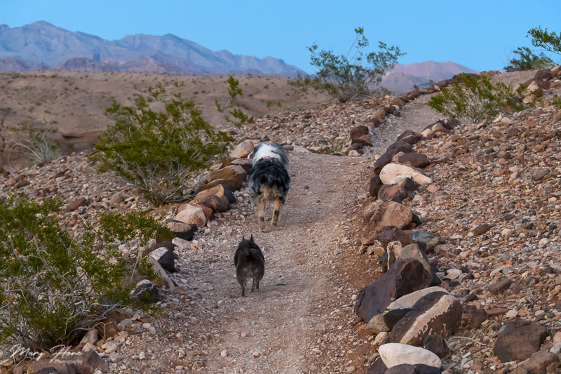 dogs walking in the desert