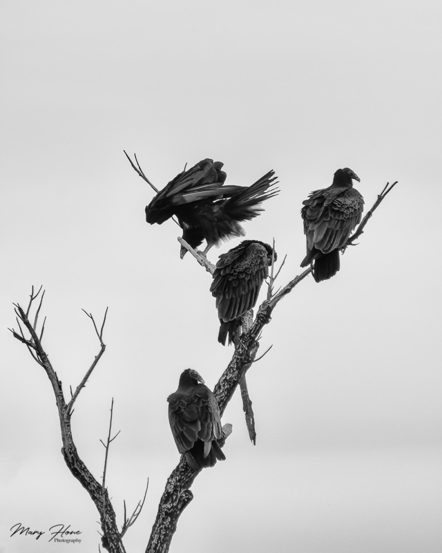 buzzards in a tree