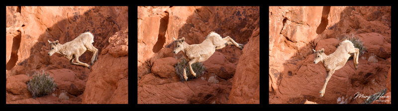 triptych bighorn sheep lamb jumping