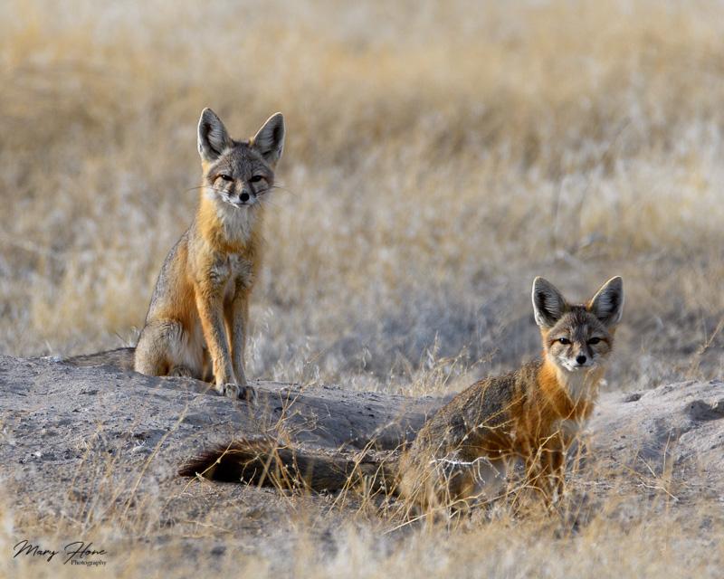 Kit Foxes in Utah