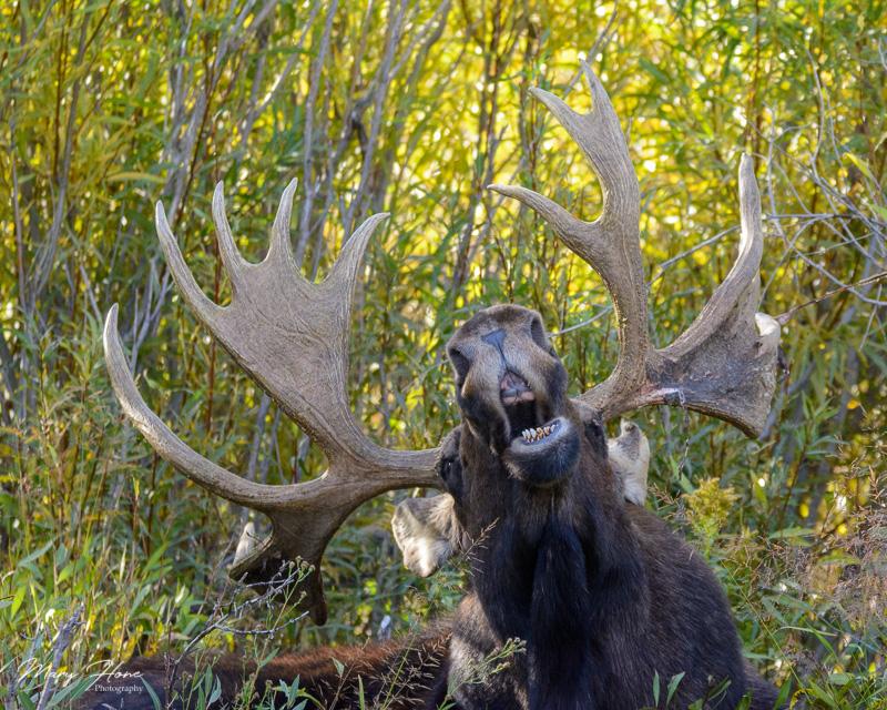 Humorous Wildlife Photos, funny moose