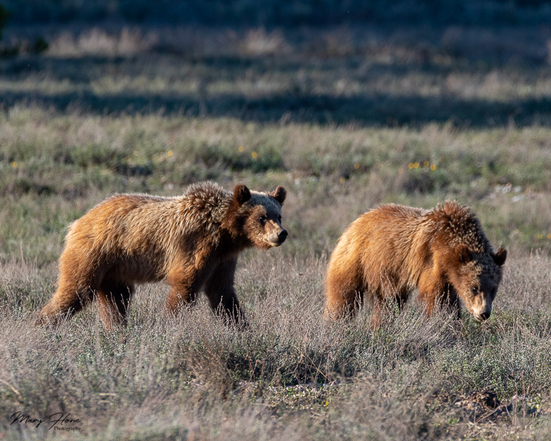 Bears of Grand Teton National Park, grizzly 399 cubs