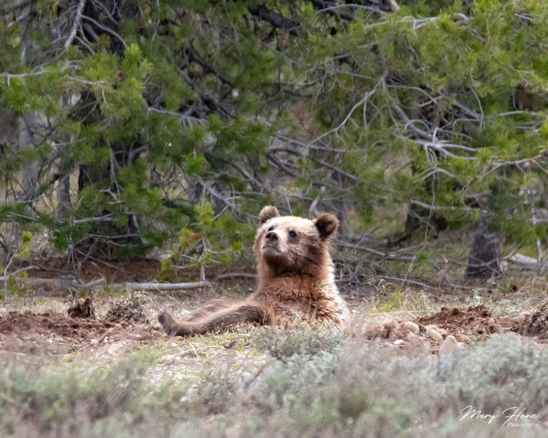 Bears of Grand Teton National Park, grizzly 399 cub