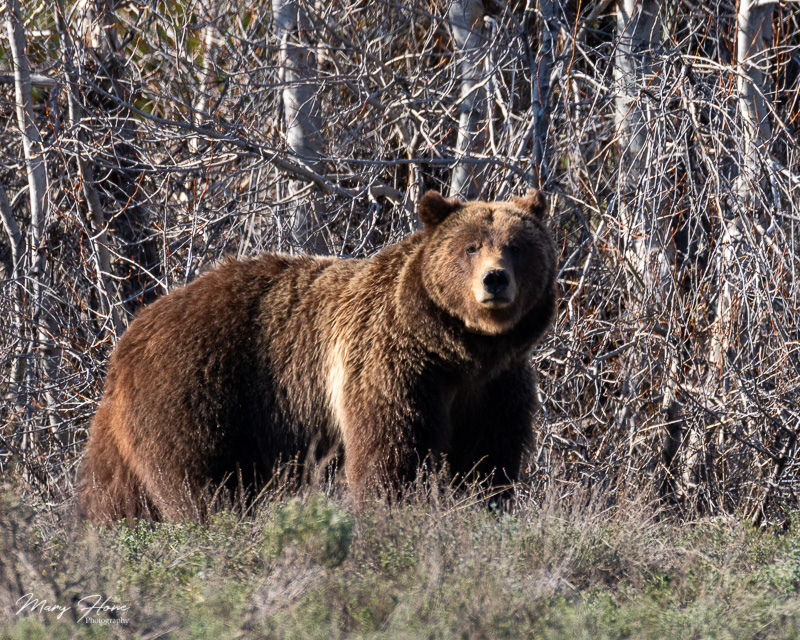 Bears of Grand Teton National Park, grizzly 399