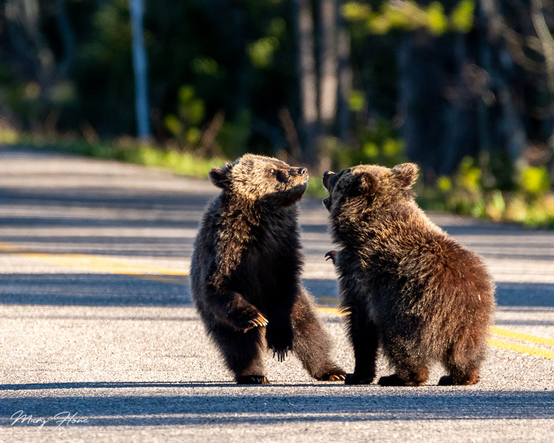 Grizzly bears of grand teton national park blondie, grizzly cubs