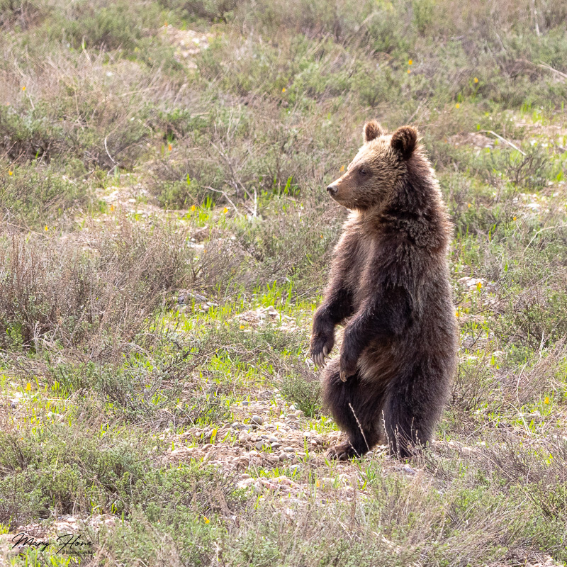 Grizzly bears of grand teton national park blondie