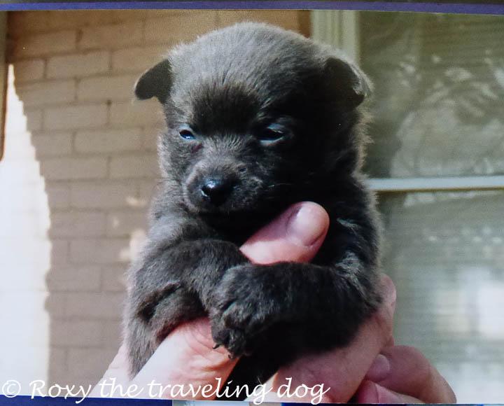Roxy as a 4 week puppy