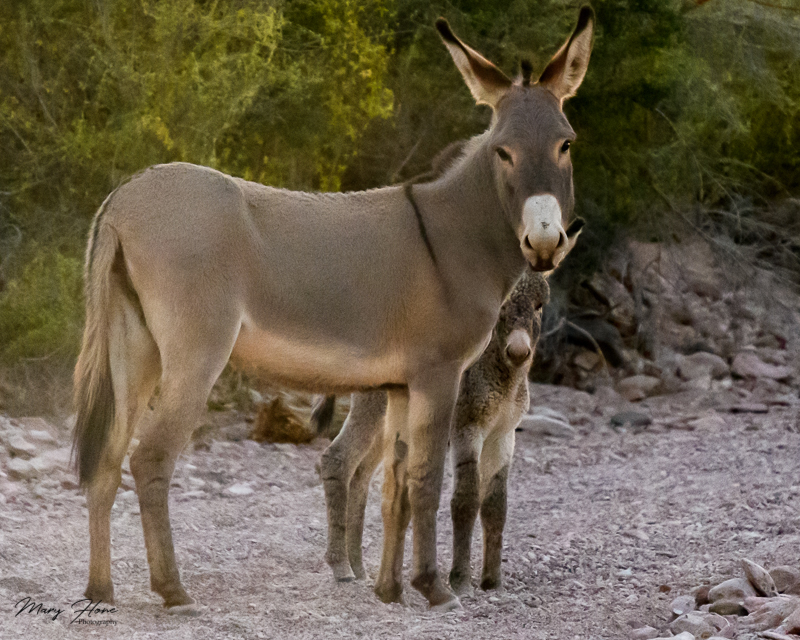 Adorable Wild Baby Burro - Tales from the Backroad