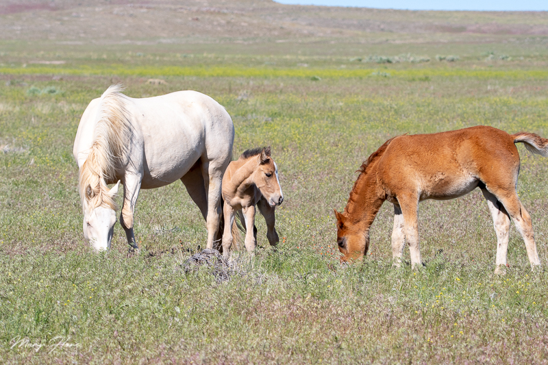 wild horse foals