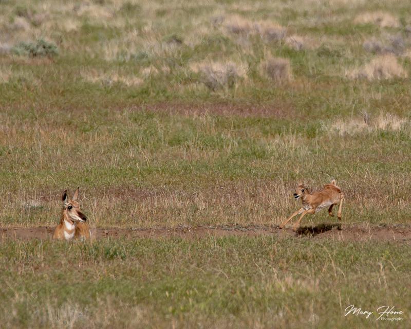 pronghorn antelope baby running