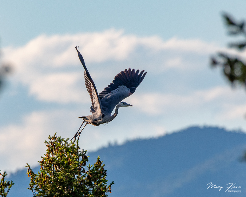 blue heron rookery