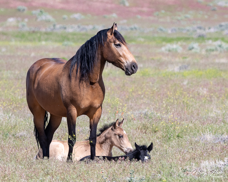 wild horse mare and foals