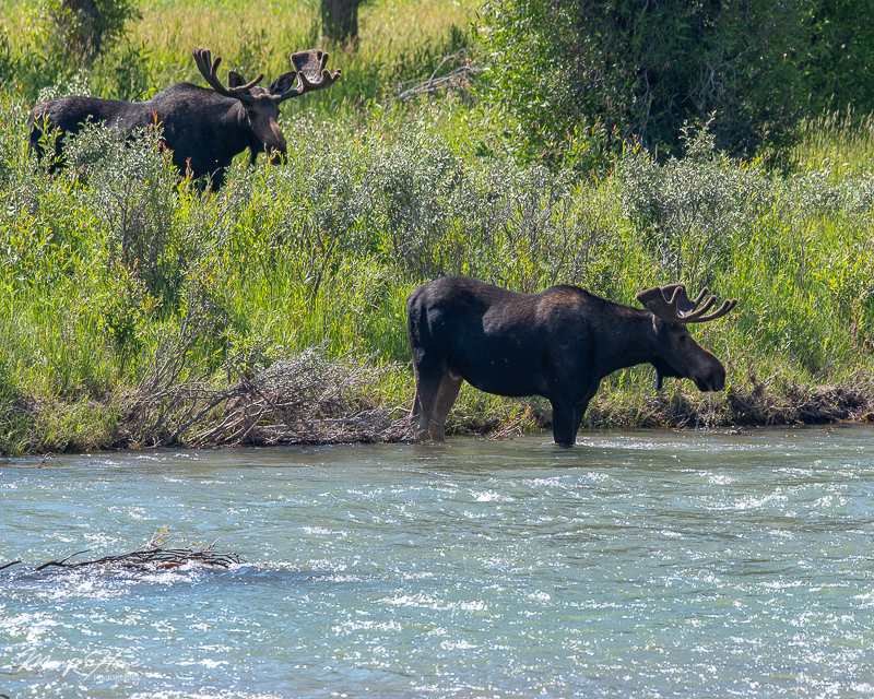 bull moose in a river