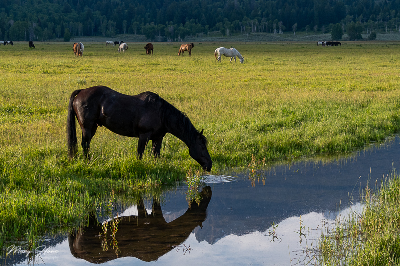horses reflected