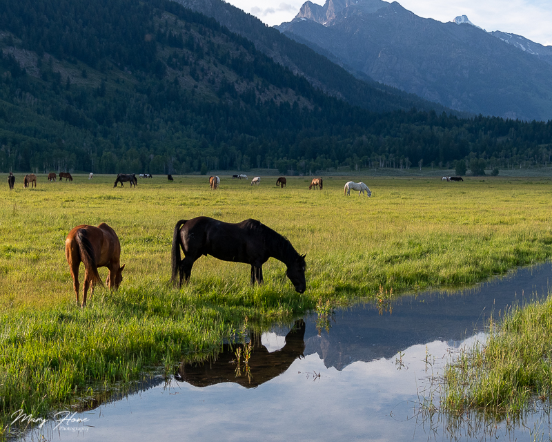 horses and the Tetons
