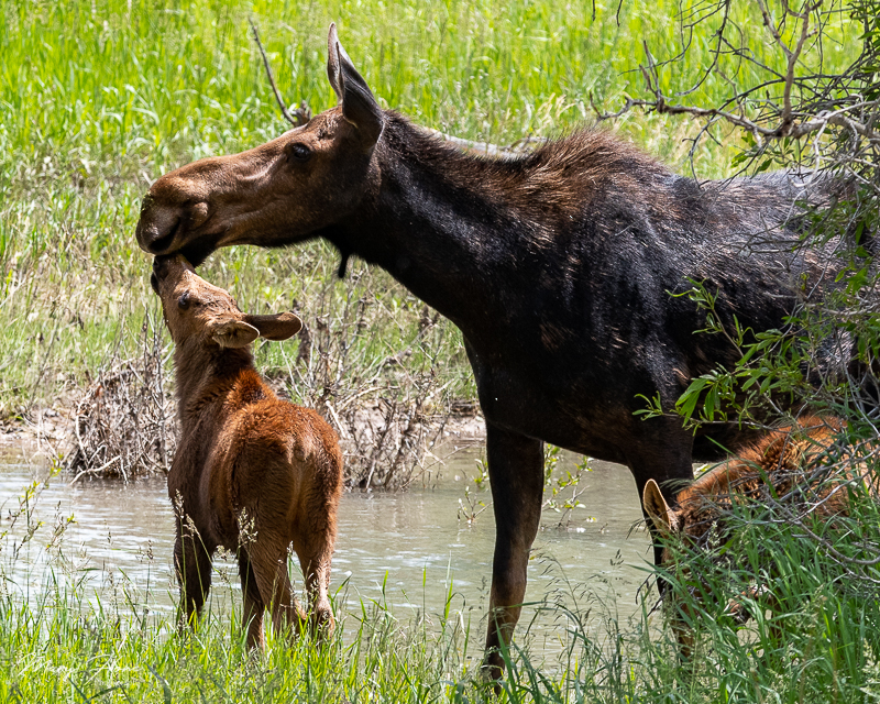 Twin Baby Moose in Grand Teton NP