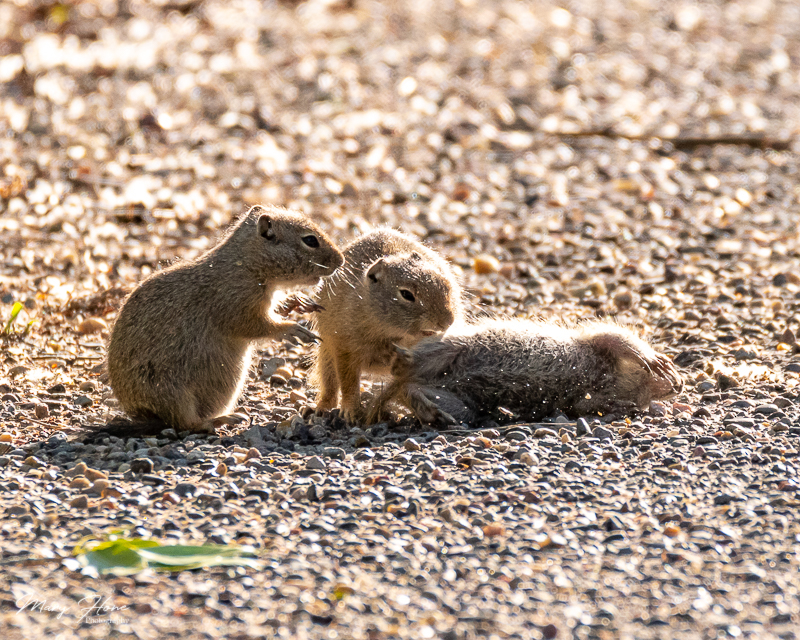 Cute and Funny Baby Gophers
