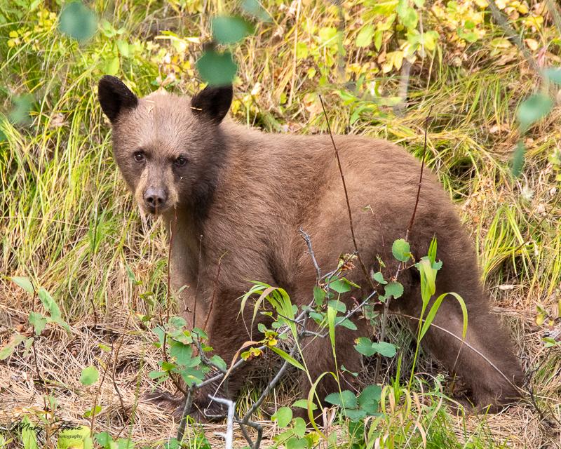 Black bear triplets in Grand Teton NP