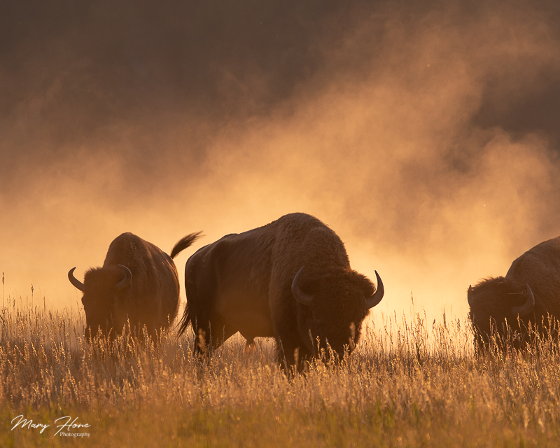 dusty bison in evening