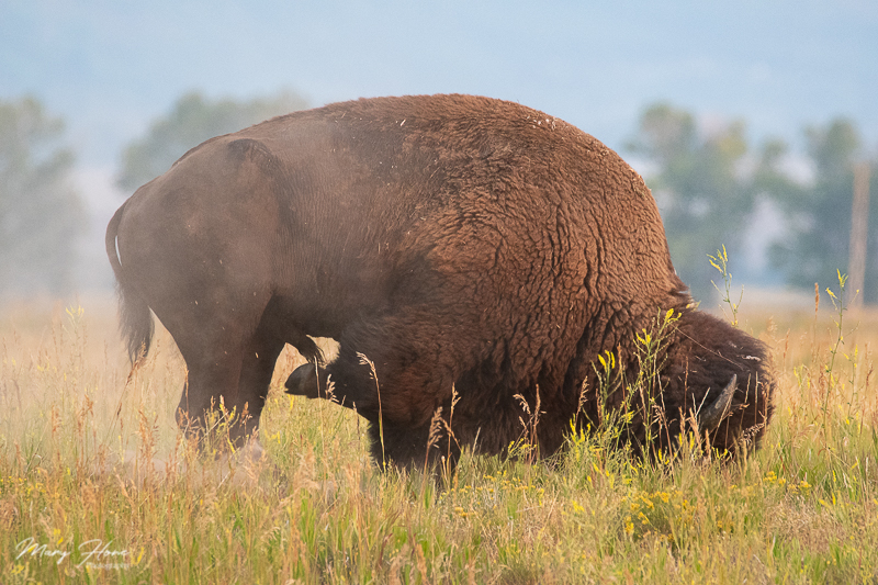 bison pawing the ground