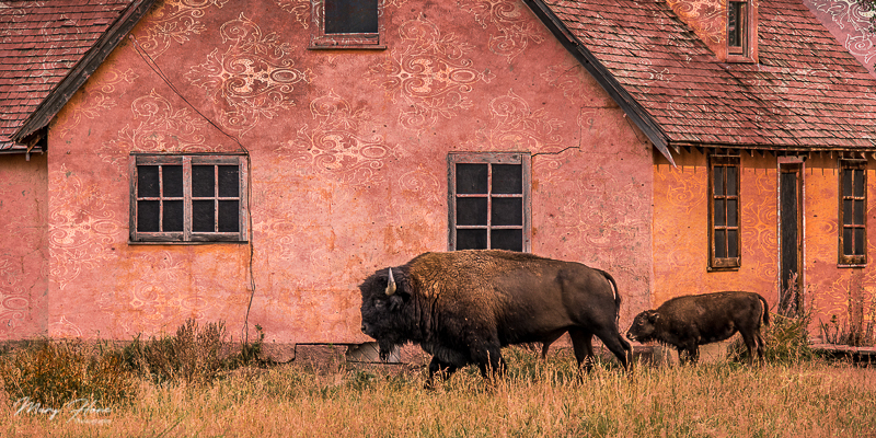 fine art photography, bison