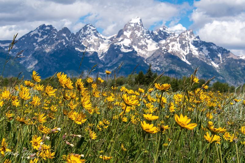 tetons and flowers