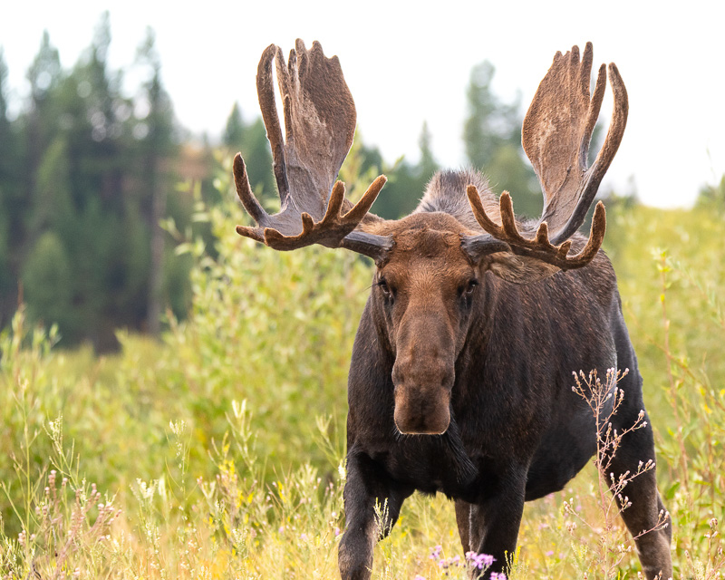 Bull moose in Grand Teton NP