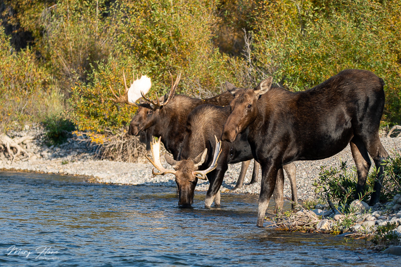moose at the river