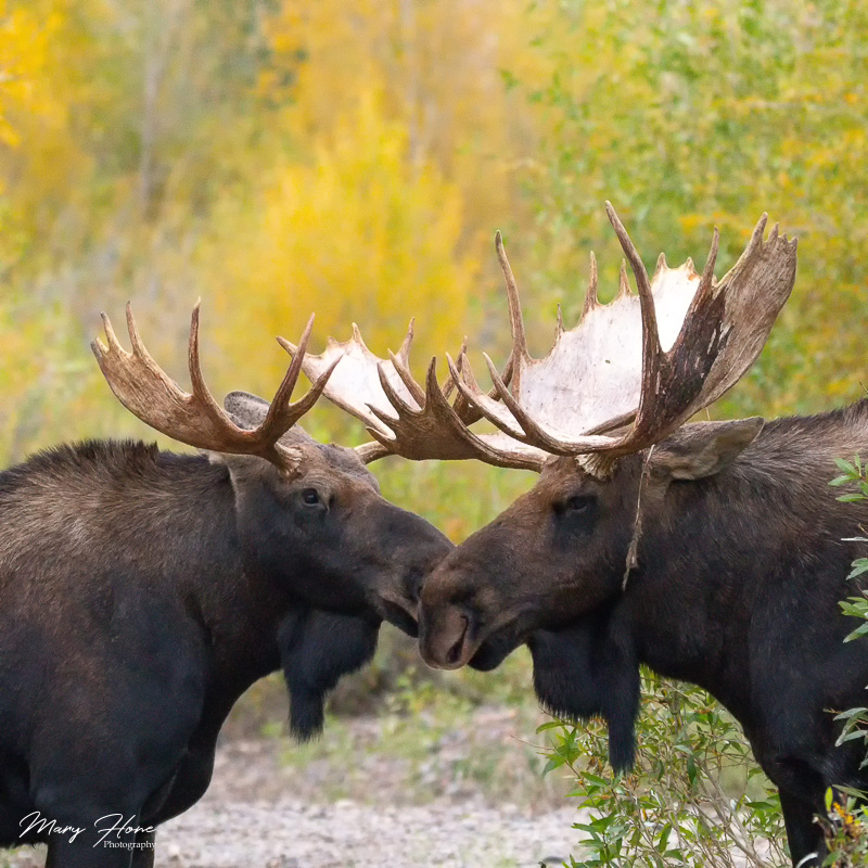 Moose Fighting During the Rut