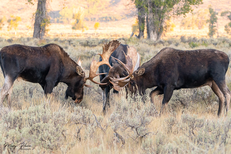 three bull moose fighting
