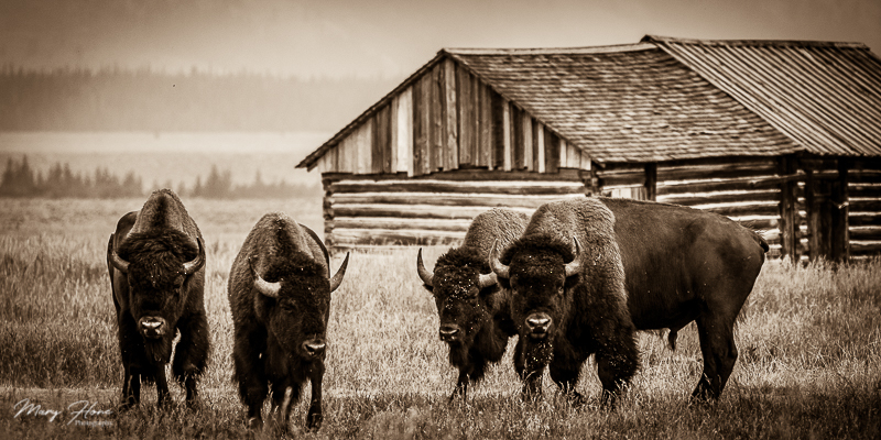 sepia bison photo