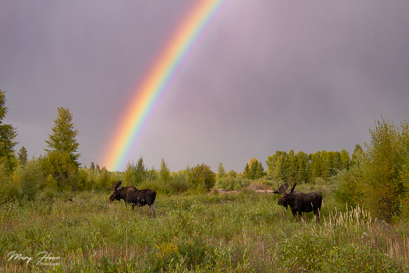 rainbow and moose