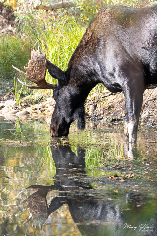 moose reflecting in the water