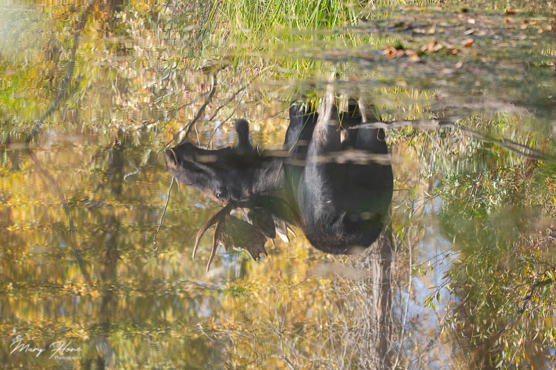 moose reflection in river