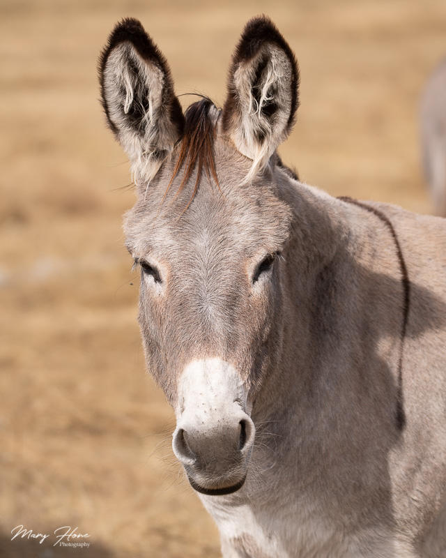 burro in custer state park