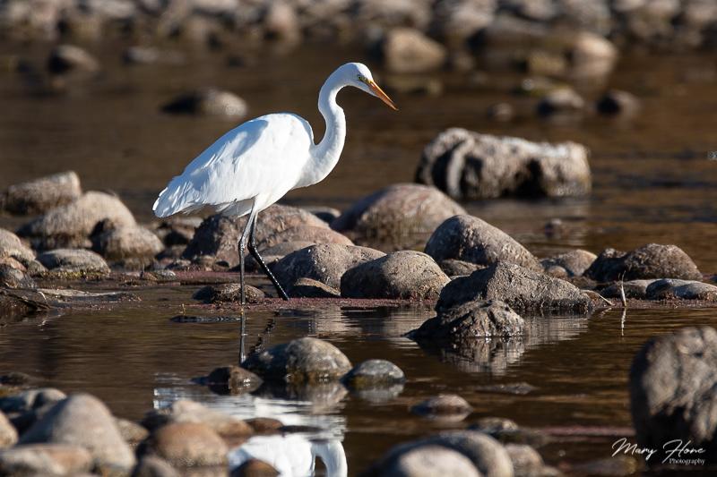 egret in a river