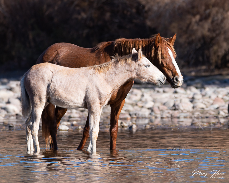 wild horses Tonto National Forest and the Salt River